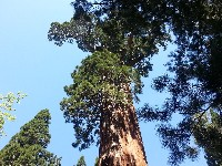 Kings Canyon NP Sequoias